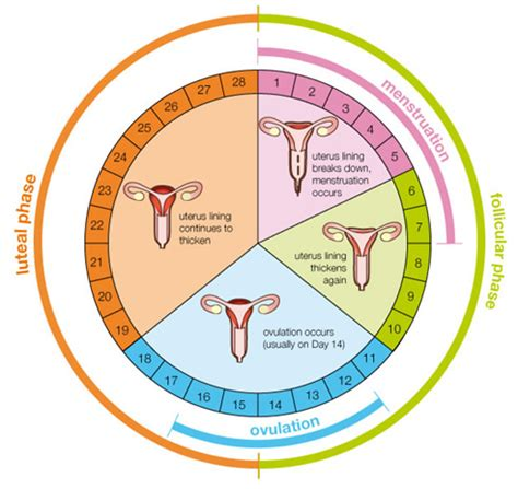 Menstrual Cycle | Menstrual Chart Female Period Cycle