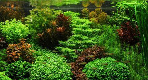aquascape yang indah langkah pembuatan aquascape taman air aquascape