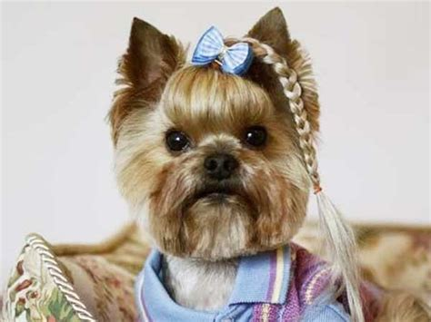 different yorkie cuts yorkie haircuts 100 terrier hairstyles pictures yorkiemag