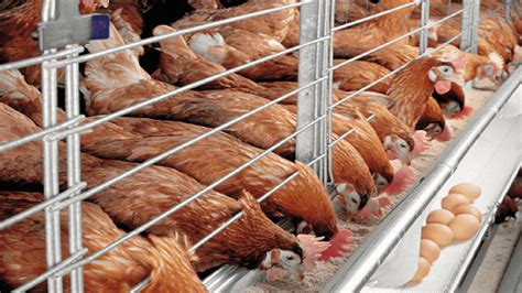2015 nigeria poultry business plan for layers and broilers catfish and poultry farming in nigeria
