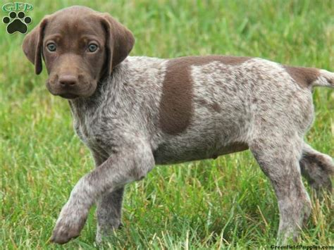 german shorthaired pointer puppies nc german shorthaired pointer puppy for sale from