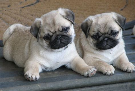 baby pugs for free baby pugs litle pups