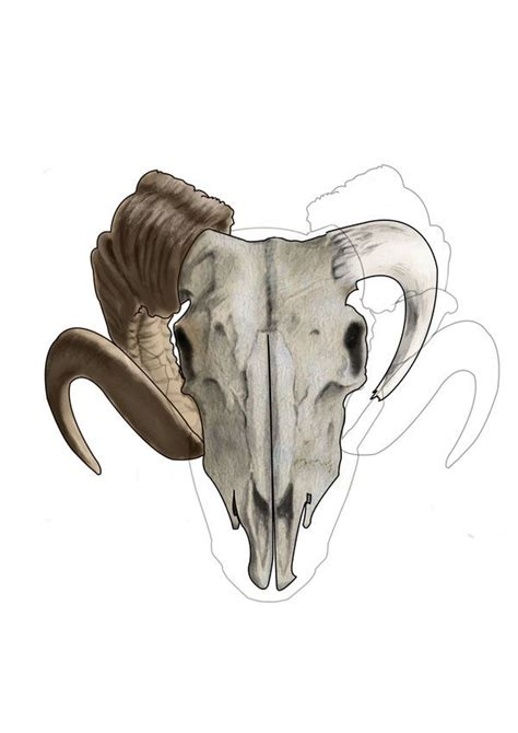 rams skull drawing 17 best images about rams on horns the skulls