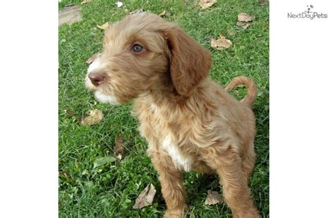 labradoodle puppies for sale in michigan labradoodle puppies multi generation labradoodle puppy for sale near the thumb