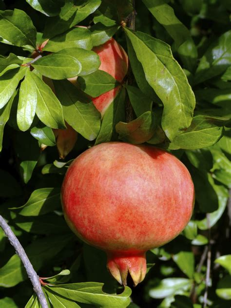 types of fruit trees with pictures pomegranate tree varieties common types of pomegranate