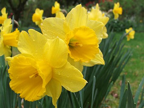 daffodil yellow bright yellow daffodils
