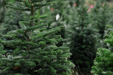 who introduced xmas trees to britain shop local and buy an island grown tree this year vancouver island news