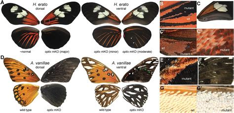 pattern formation and eyespot determination in butterfly wings single master regulatory gene coordinates the evolution