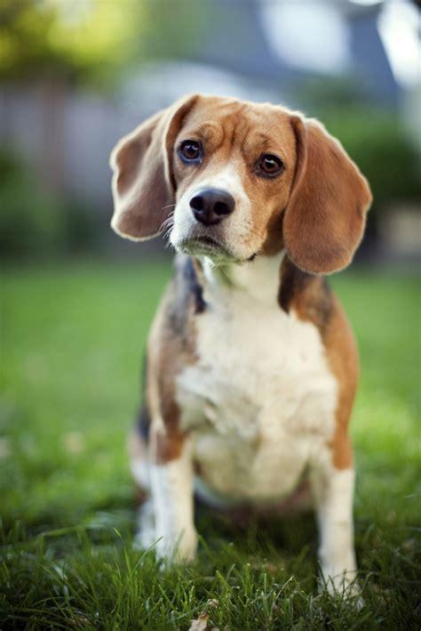 history of dogs beagle history many