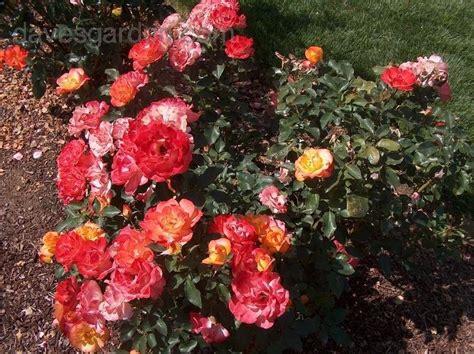 heirloom rubber st show plantfiles pictures florists hybrid tea