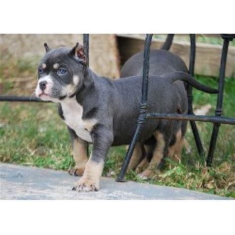pitbull puppies for sale in san antonio american bully puppies for sale for sale adoption from san antonio breeds picture