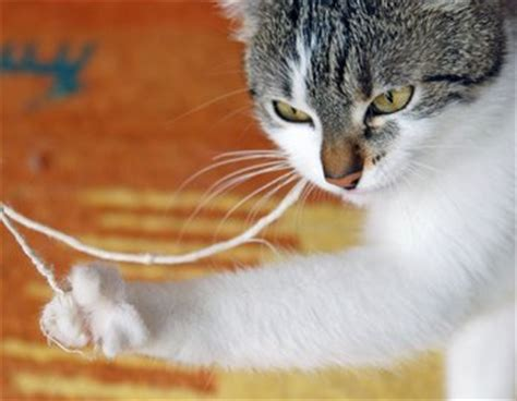 Cat String - a cat plays with string which is a pet health concern