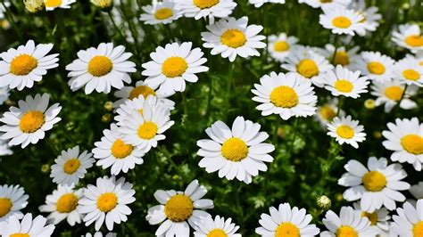 imagenes tumblr margaritas flores de margaritas en primavera fotos e im 225 genes en