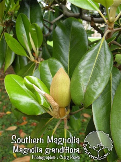 celebrity gossips and images southern magnolia tree facts