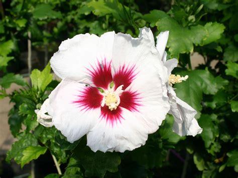 hibiskus schneiden wann hibiskus schneiden hibiskus schneiden ran an den