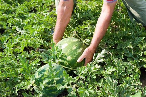 melonen im garten wassermelone saison 187 wann gibt es frische melonen
