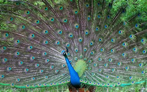peacock wallpapers do quot voinho quot conhecendo as aves aqu 193 ticas e que n 195 o voam