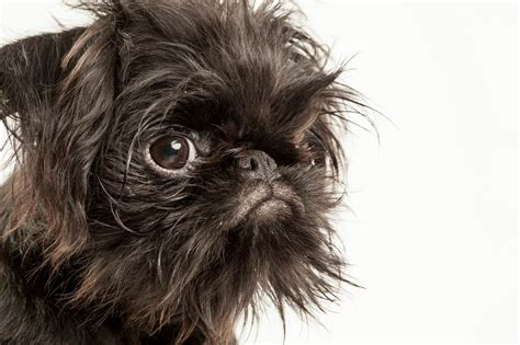 griffon puppies brussels griffon puppy