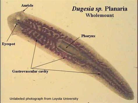 planaria diagram plathelminthes nematoda zoology 110 with vandermolen