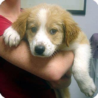 golden retriever rescue in virginia adopted puppy 8015 alexandria va golden retriever border collie mix