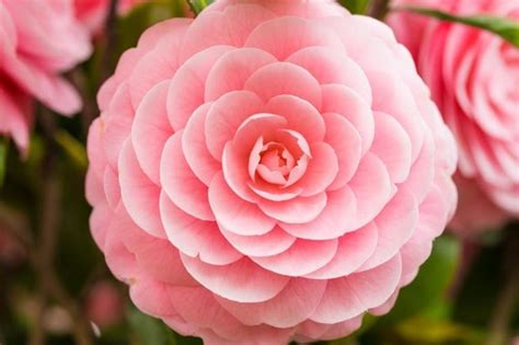 Blooming Flower by Camellias