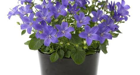 fiori di appartamento fiori da appartamento piante appartamento come