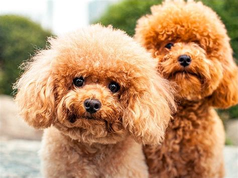 photoes of different types of poddles poodle breeds google search poodle pinterest