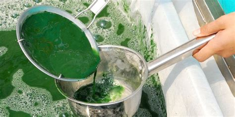 spirulina for dogs spirulina for dogs what you need to i dr dobias