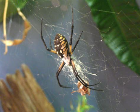 Golden Garden Spider Bite Do Argiope Aurantia Spiders Bite