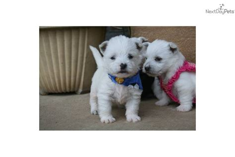 west highland terrier puppies for sale near me buy a puppy puppies for sale near me adopt a pet pets world
