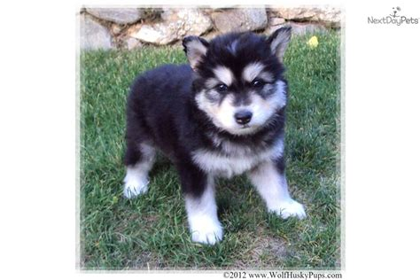 wolamute puppies for sale wolf hybrid puppy for sale near salt lake city utah 2db30986 1861