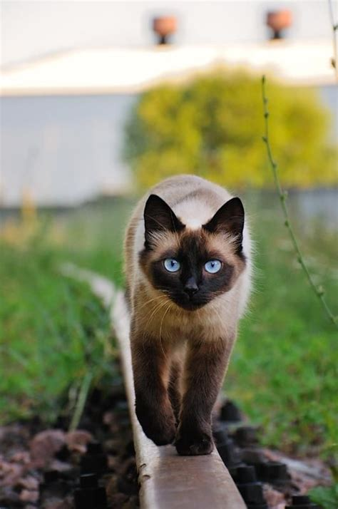 8 Reasons Why Cats Are Like Children by 12 Reasons Why You Should Never Own Siamese Cats