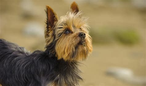 yorkie puppy information terrier breed information