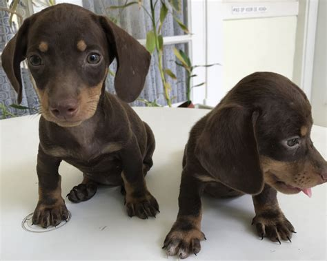 rottweiler puppies for sale ta fl second classified ads website based in curacao