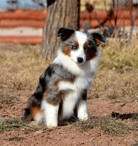 australian shepherd colors about aussies color country aussies