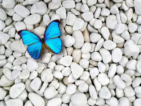 wallpaper blue butterfly blue butterfly wallpapers wallpaper cave