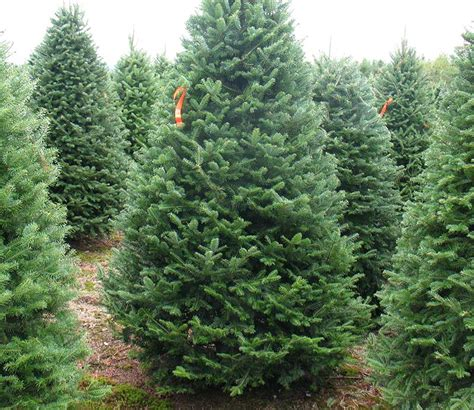 fresh cut christmas trees sw chicago suburbs kringle s