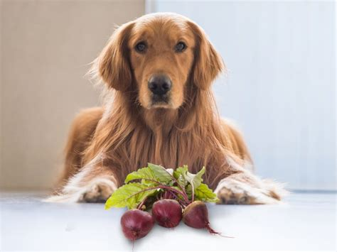 can dogs beets can dogs eat beets organic facts
