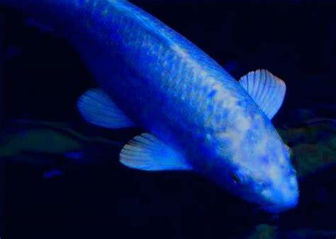 blue koi fish blue koi
