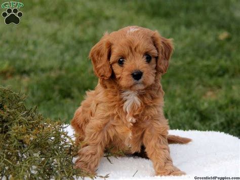 cavapoo puppies for sale in pa 10 best ideas about cavapoo puppies for sale on cavapoo puppies