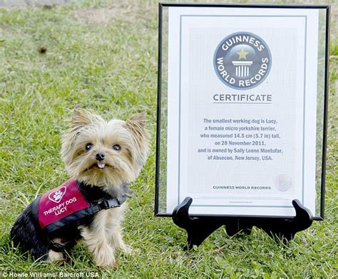 smallest yorkie on record meet the world s smallest working at just 5 7 inches daily mail