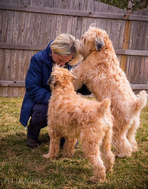 golden retriever wheaten terrier mix dogs similar to wheaten terriers breeds picture