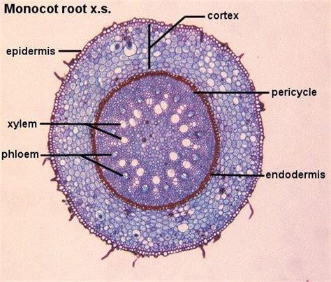 cross section of the root gallery zea root cross section