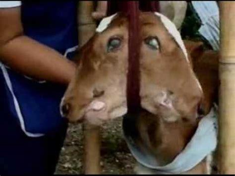 persone con due teste vitello con due teste
