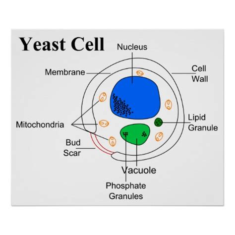fungi diagram diagram of a micro organism fungi yeast cell poster zazzle