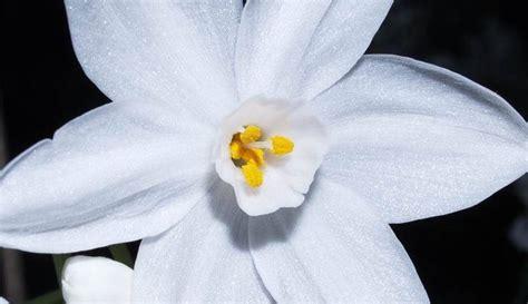 narciso fiore significato narciso linguaggio dei fiori