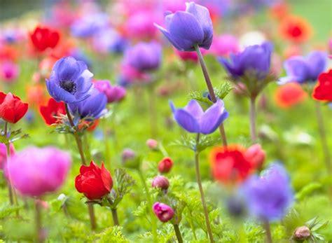 adorable anemones flower bulb crazy