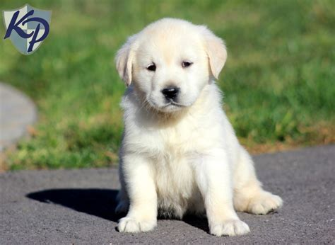 puppies for sale in pa precious golden labrador puppies for sale in pa keystone