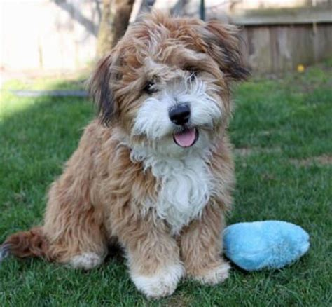havanese poodle breeders bc best 25 poodle mix puppies ideas on
