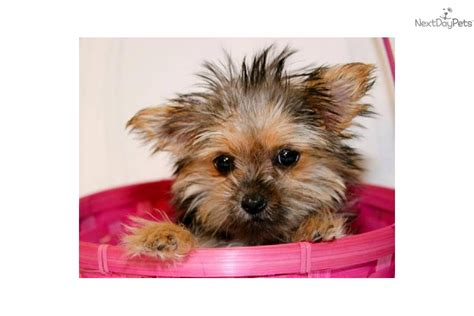 teacup yorkie boy names yorkie names yorkie names images yorkie names